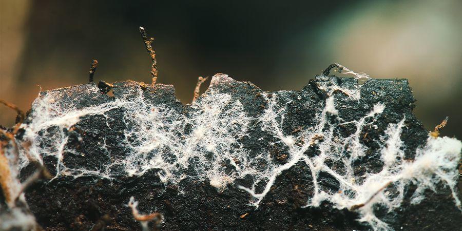 Employer Des Microorganismes Bénéfiques / Mycorhizes (champignons)