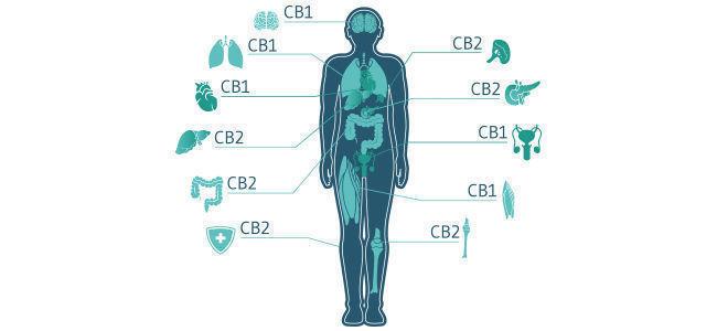 Comment Le CBD Interagit Avec Le Système Endocannabinoïde ?