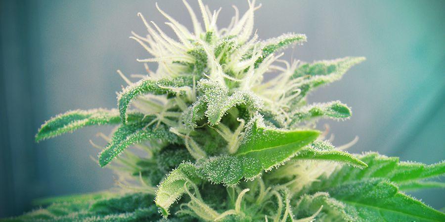 La Variété De Cannabis Jack Herer