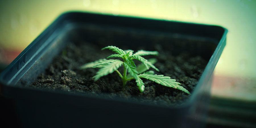 Cultiver Cannabis Dans Des Pots