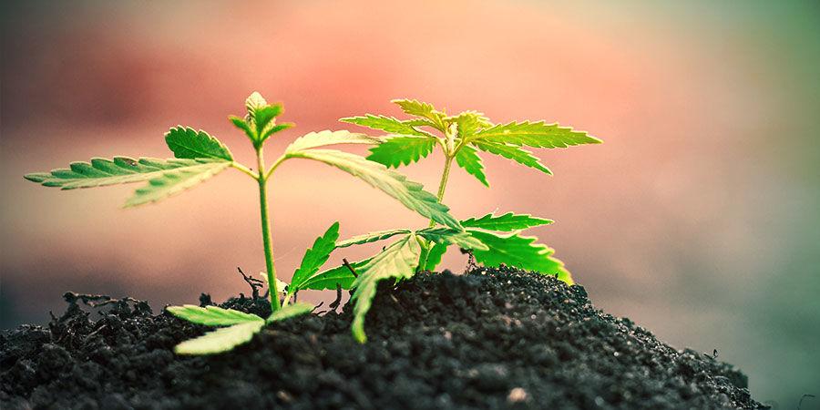Culture Cannabis En Terre