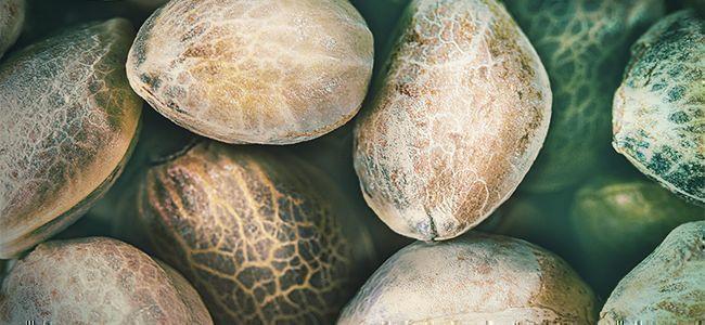 Meilleure Herbe: Graines De Haute Qualité