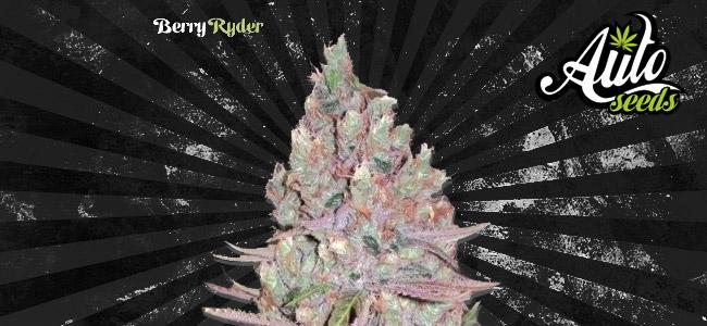 Berry Ryder Auto Seeds