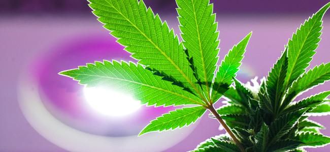 Lumière Cannabis