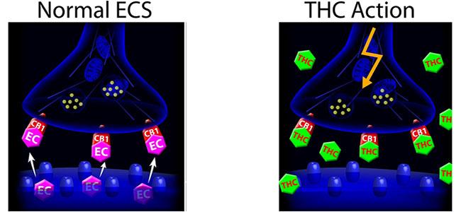 Endocannabinoid système thc