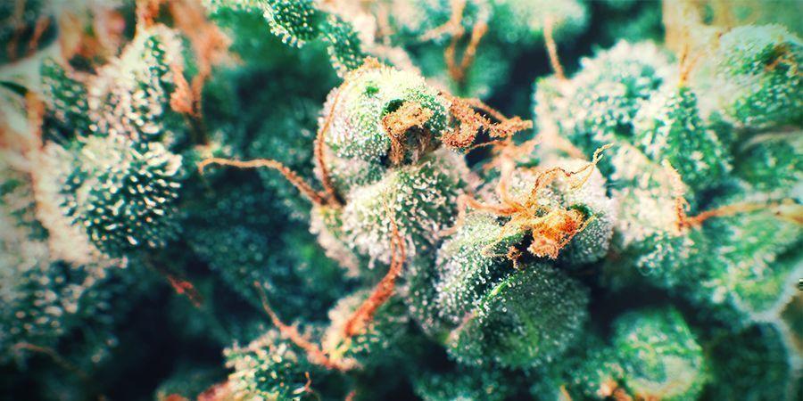 Cannabis Poils Dorés