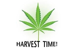 Temps de récolte Cannabis