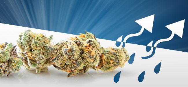 Sécher Du Cannabis
