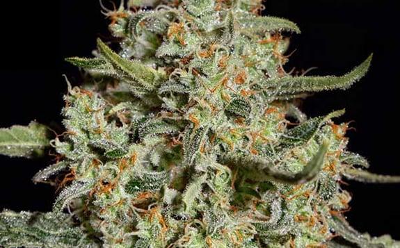 Vari t s de cannabis haut rendement et r sistantes aux for Plant de cannabis exterieur