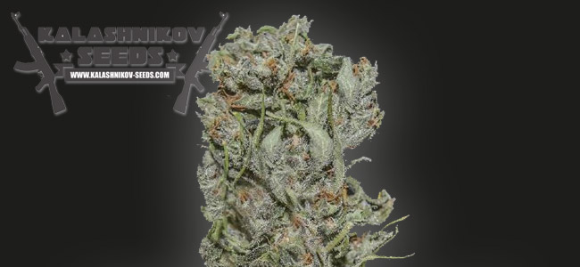 White Critical Express Kalashnikov Seeds