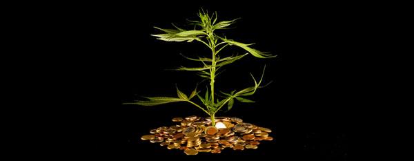 Cannabis faible coût
