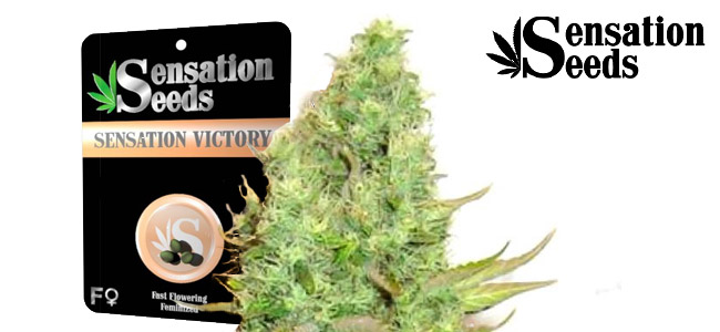 Sensation Victory Sensation Seeds