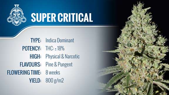 Super Critical (Greenhouse Seeds) Fem.