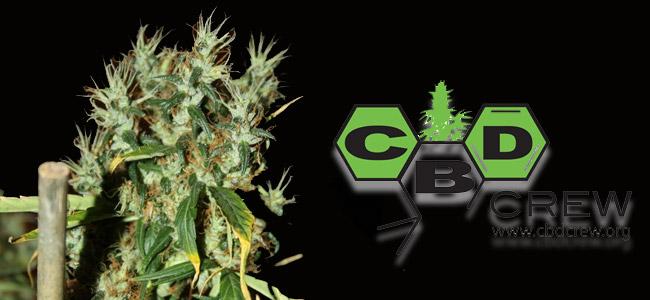 CBD Mango Haze CBD Crew