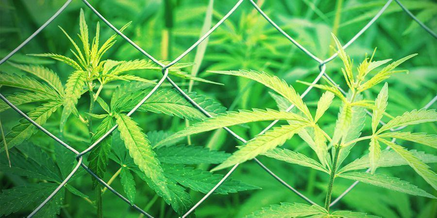 Choisir votre site pour cultiver du cannabis
