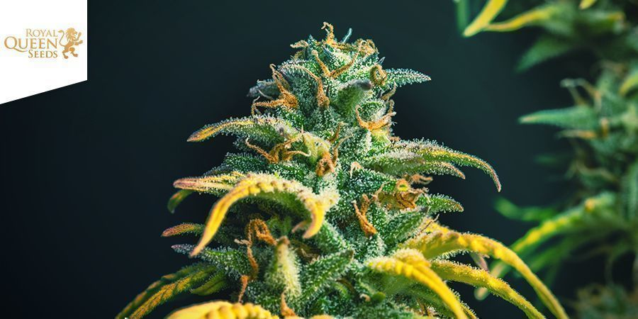 Stress Killer Royal Queen Seeds