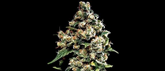 Jack Herer (Greenhouse Seeds) Fem.