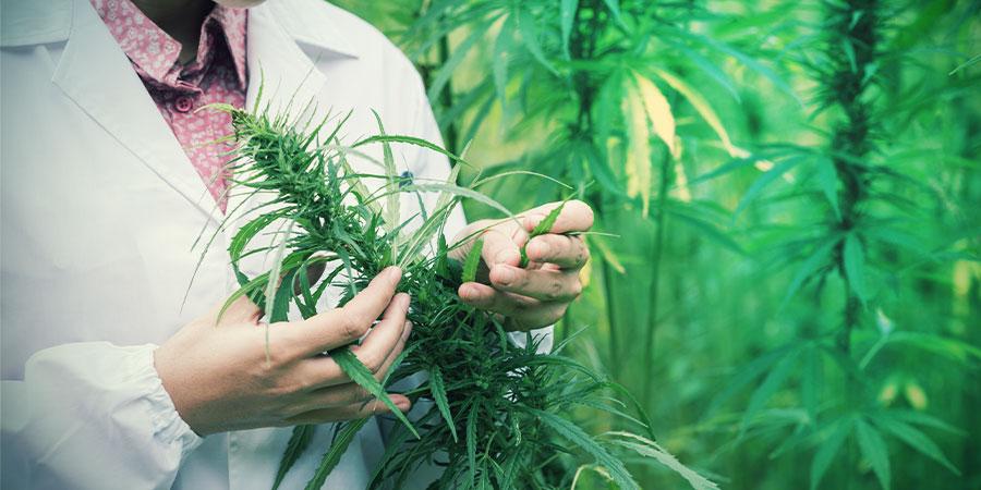 Le Cannabis Peut-il Traiter La Douleur?