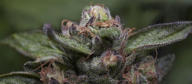têtes de Purple Kush
