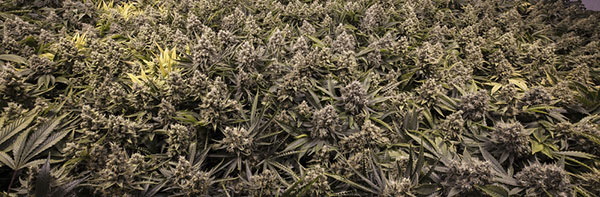 Cannabis floraison