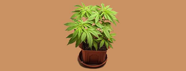 Cannabis végétal hybride