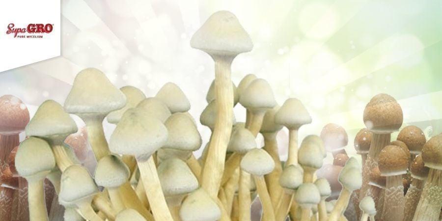 Comment Cultiver Les Supa Gro Kits de culture 100% Mycélium