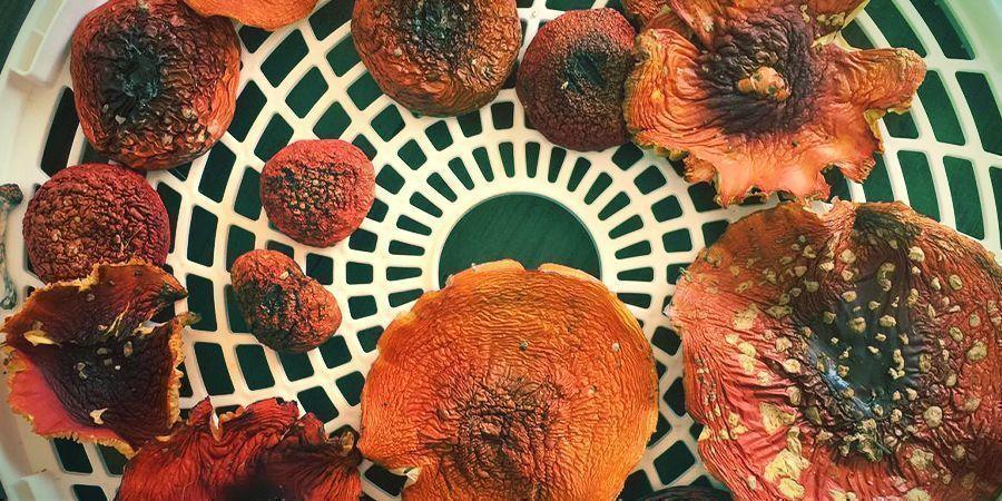 Amanita muscaria: Usage et Usage médical