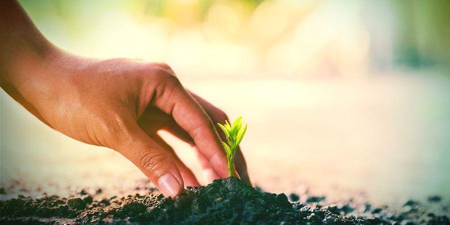 Cultiver Calea Zacatechichi