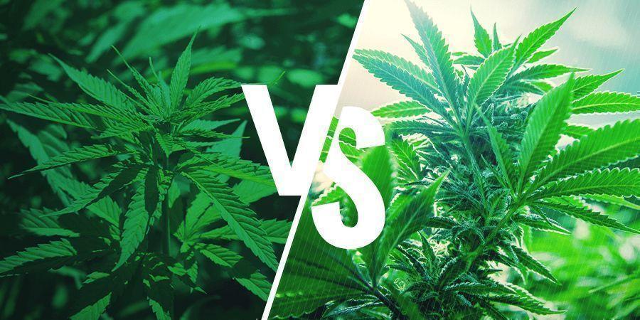 Sativa vs. Indica: Effets
