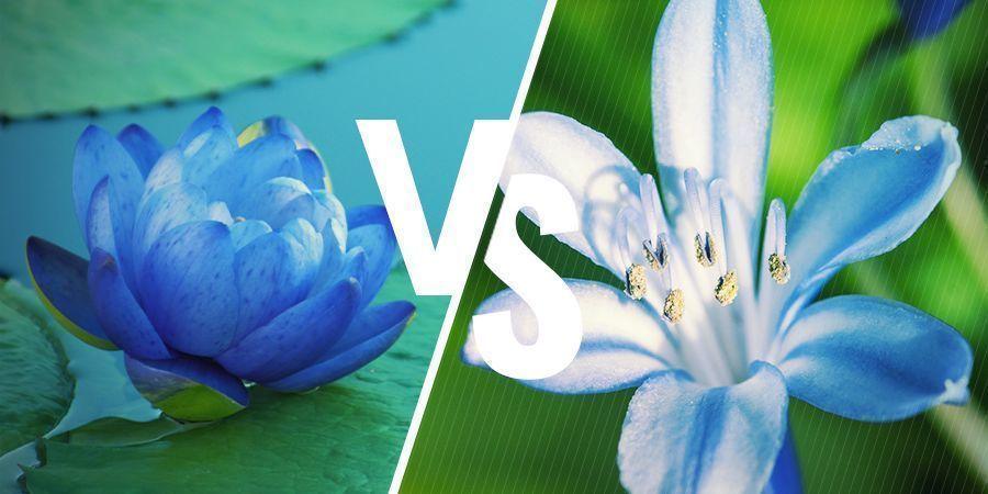 Lotus Bleu : Les Plantes Relativement Similaires