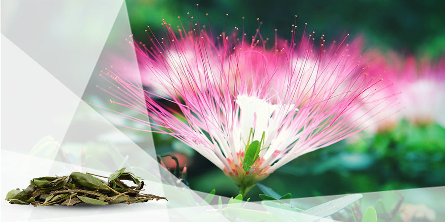 Calliandra angustifolia - Bobinsana