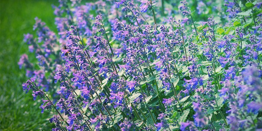 Botanique Herbe-Aux-Chats
