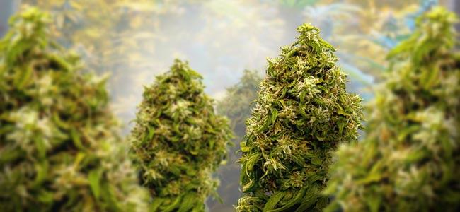 Cannabis: Phase De Floraison