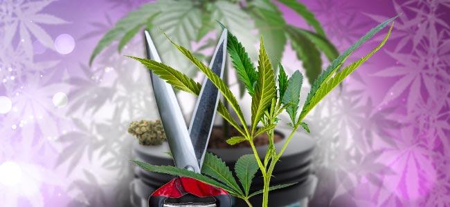Cultiver En Abondance À Partir De Plantes Mères