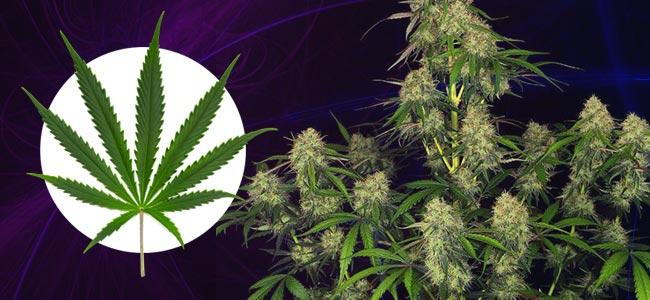 Comment Reconnaître Un Plant De Cannabis Sativa