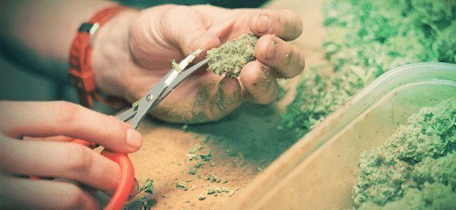 Récolte Au Cannabis: Manucure Et Séchage
