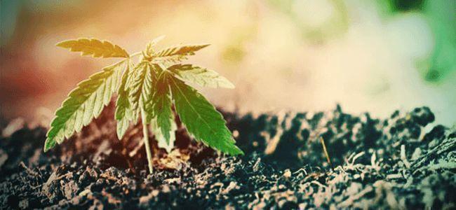 Cannabis UNE BONNE TERRE ET DES RACINES