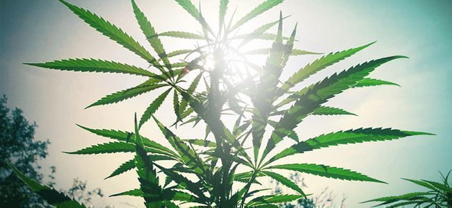 Cannabis en Extérieur