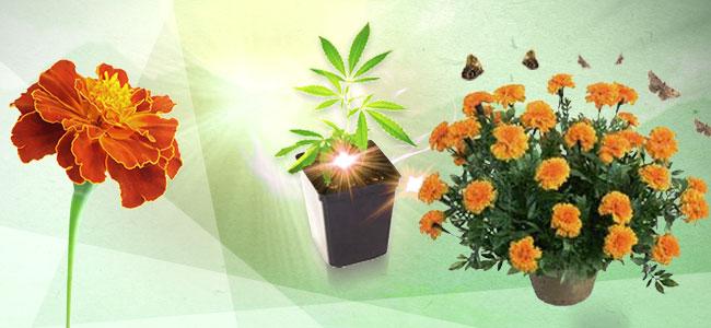 Compagnonnage Appliqué Au Cannabis : L'Œillet d'Inde
