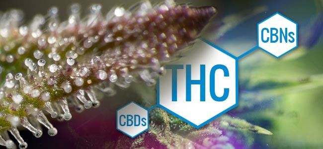 Trichomes: Changements Dans La Chimie De La Marijuana