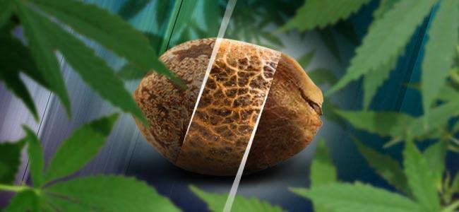 Les Graines Féminisées, Régulières Et À Autofloraison