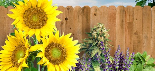 Camouflage Avec Des Plantes Compagnes