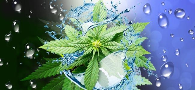 Quand Et Comment Rincer Vos Plants De Cannabis