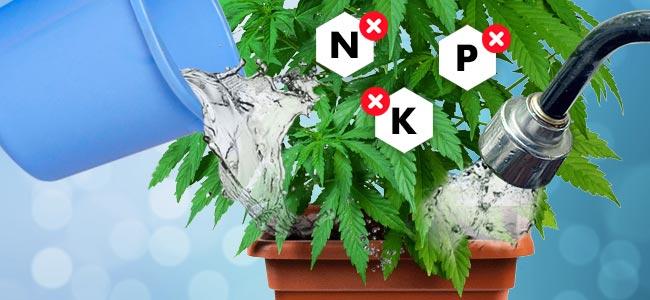 Comment Rincer Des Plants De Cannabis