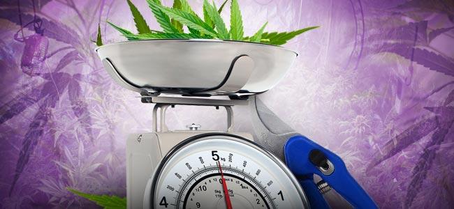 Défoliation Du Cannabis : TROP, C'EST COMBIEN ?