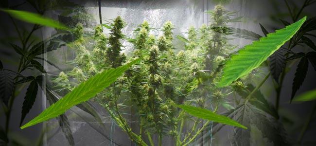 Les techniques de défoliation augmentent les rendements pour les cultivateurs de cannabis