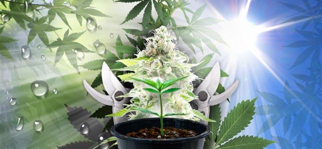 Cultiver du Cannabis en Extérieur