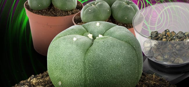 PEYOTL (LOPHOPHORA WILLIAMSII)
