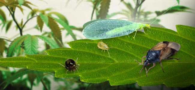 Combattre Les Thrips