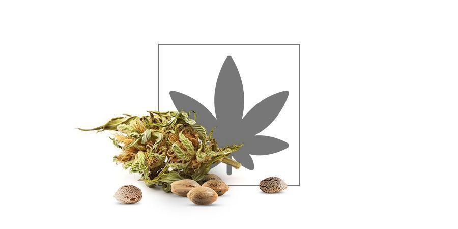 Catalogue de graines de cannabis